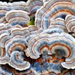 turkey-tail-mushrooms-studied-for-cancer-patients